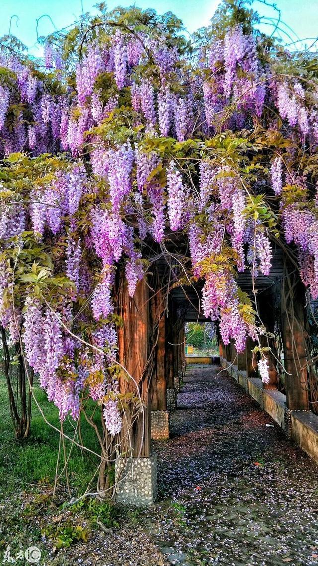 紫藤花 古時亦稱藤蘿,招豆藤 原產中國 - 每日頭條