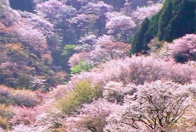 奈良吉野山賞櫻散策 - 每日頭條