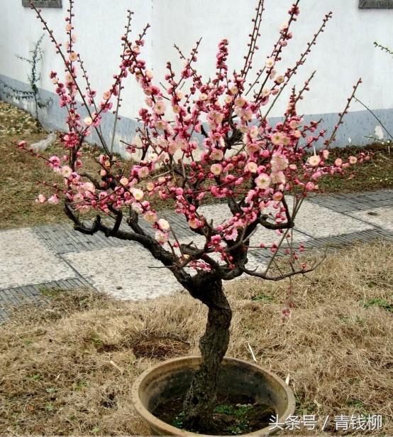 盆栽桃樹盆景栽培方法與技巧 - 每日頭條