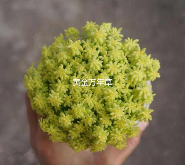 【相似植物】黃金萬年草,薄雪萬年草如何分辨,附養護方法 - 每日頭條
