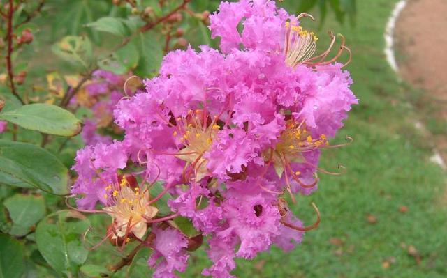 紫薇花又名滿堂紅。樹姿優美樹幹光滑潔凈花色艷麗。有百日紅之稱 - 每日頭條
