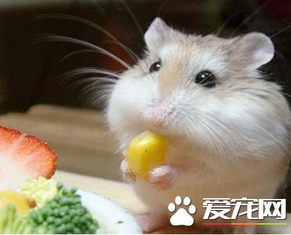 布丁倉鼠喜歡吃什麼 布丁倉鼠可食性食物 - 每日頭條