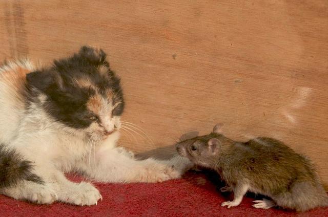 幼鼠被一小貓咬死後 母鼠連續幾天都來偷襲小貓 - 每日頭條