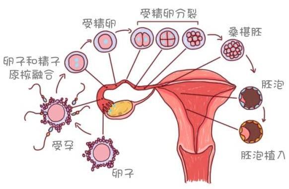 排卵期到著床要多長時間,著床後的癥狀有哪些?備孕要注意什麼 - 每日頭條
