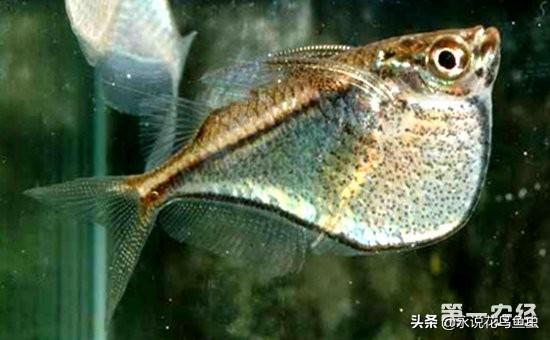 燕子魚有哪些品種?燕子魚品種介紹圖 - 每日頭條