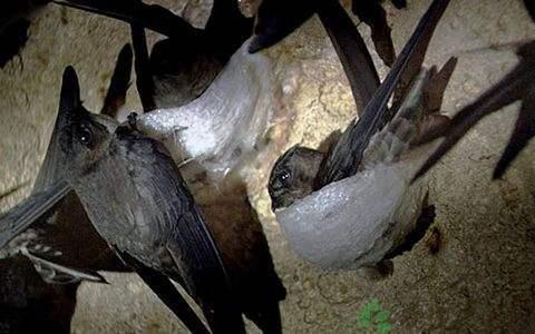 燕窩是什麼。燕窩是怎麼形成和加工的? - 每日頭條