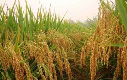 古人常說的五穀雜糧到底是哪些作物? - 每日頭條