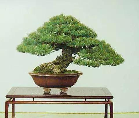 黑松、赤松、五針松盆景的造型特色以及區別辨識 - 每日頭條