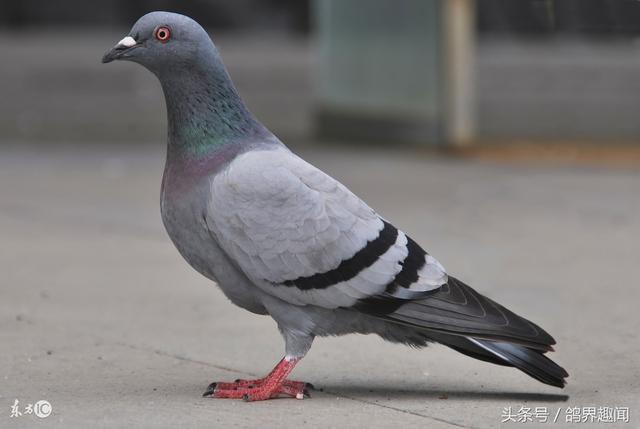 鴿子育種難。淘汰難。該如何留下好鴿子? - 每日頭條