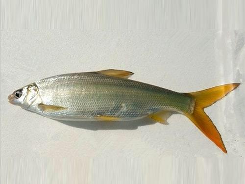 中藥材黃鯝魚 - 每日頭條