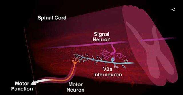 PNAS:新研究帶來脊髓損傷修復的希望 - 每日頭條