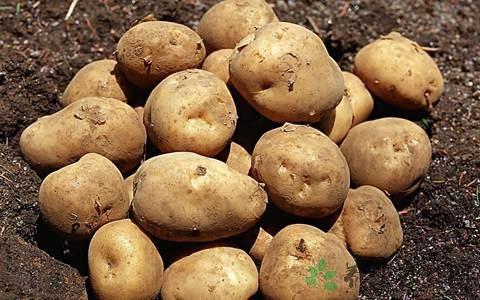 馬鈴薯發芽了還能吃嗎 - 每日頭條