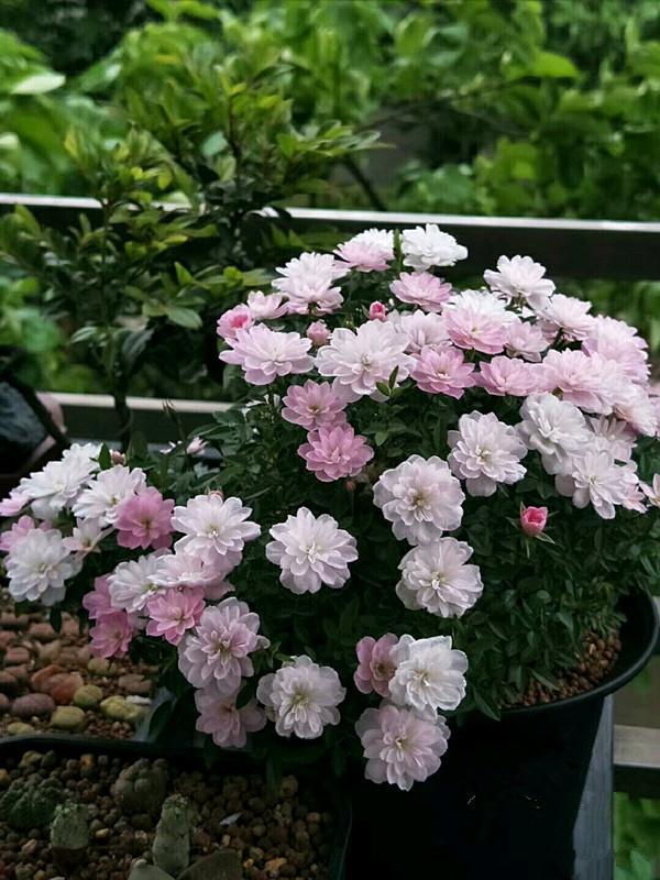 世上最小月季花,可以捧在手心,花小而美麗,四季開花,還很好養 - 每日頭條