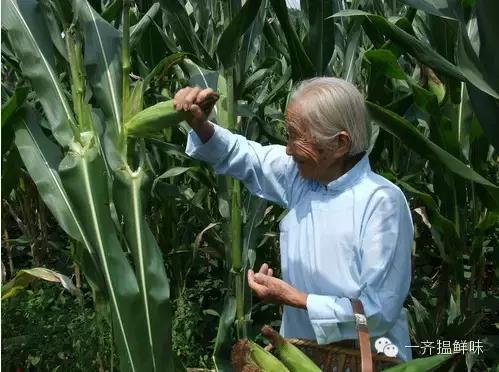 水果玉米才不是什麼轉基因呢! - 每日頭條