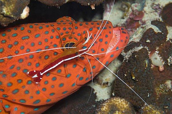 海底醫生——清潔蝦 - 每日頭條