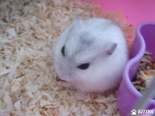 銀狐倉鼠怎麼訓練 銀狐倉鼠定點尿尿訓練 - 每日頭條