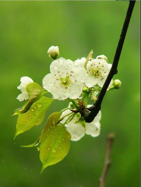 驚蟄三候之梨花:玉容寂寞淚闌干 一枝春帶雨春闌珊 - 每日頭條