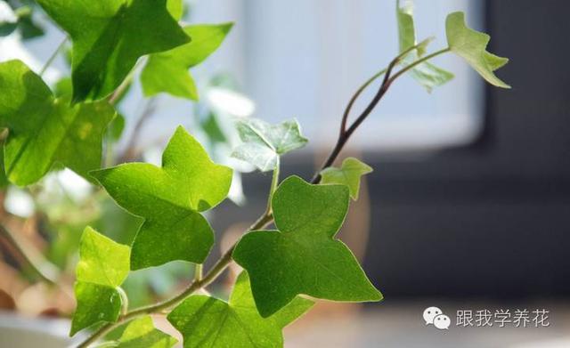 常春藤為何總是枯萎發乾。默默死去~ - 每日頭條