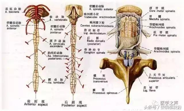 神經系統解剖大全 - 每日頭條