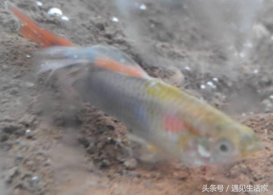 孔雀魚白點病怎麼治療?看魚友總結的4個魚病「藥方」 - 每日頭條