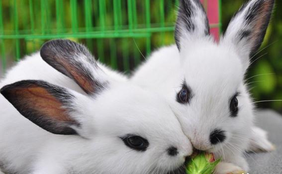 拉風熊貓兔風靡全國。寵物級別的頭號愛寵。怎麼養才是正確的呢 - 每日頭條