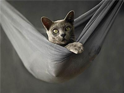 緬甸貓為什麼會打架?如何預防緬甸貓打架? - 每日頭條