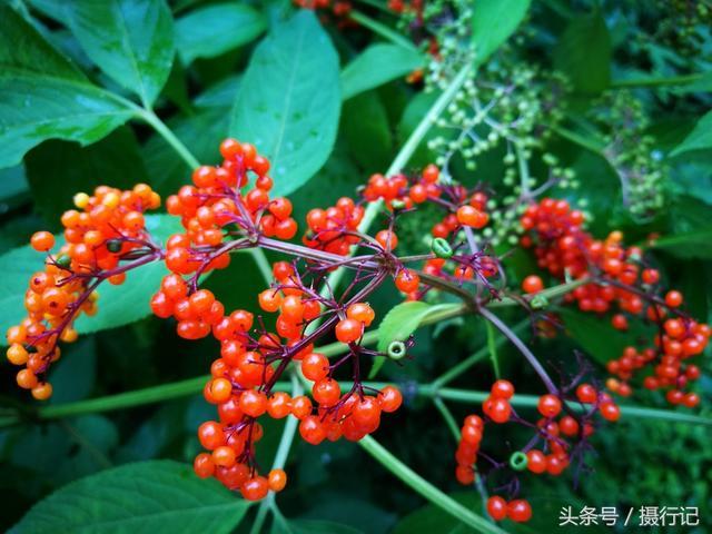 夏天裡的鄉村。一種果實紅的剔透。您認識嗎?入藥可治跌打損傷等 - 每日頭條