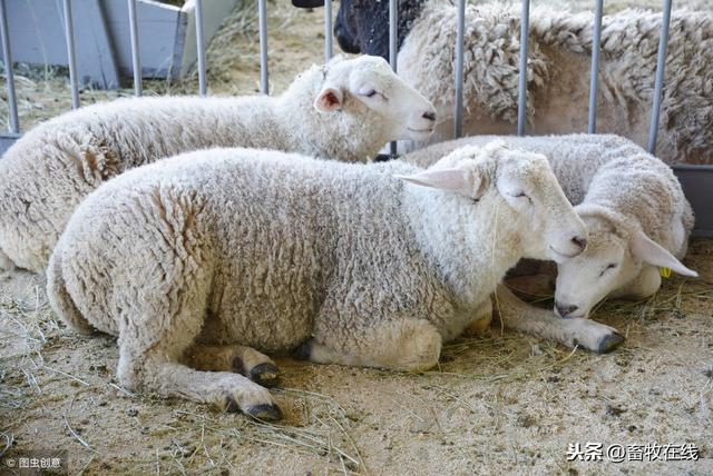 想養羊?選擇養山羊還是養綿羊?哪種更好? - 每日頭條