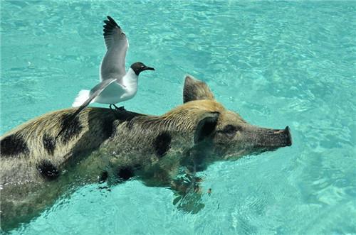 巴哈馬居然有一個豬島! - 每日頭條