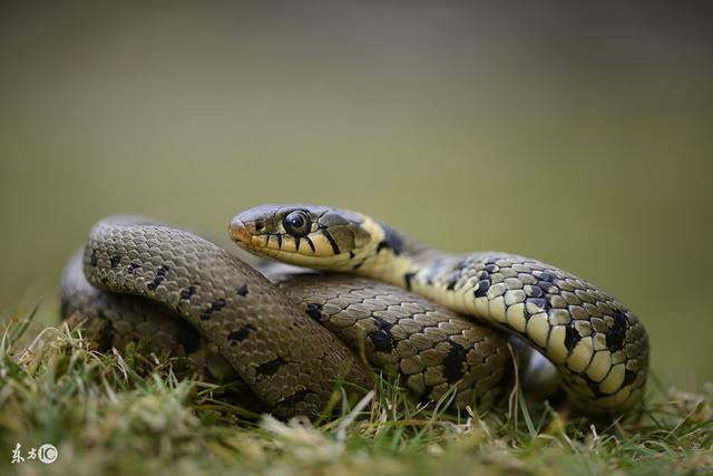 1977和1989年出生的大金蛇明天即將一生擺脫命苦的日子 - 每日頭條
