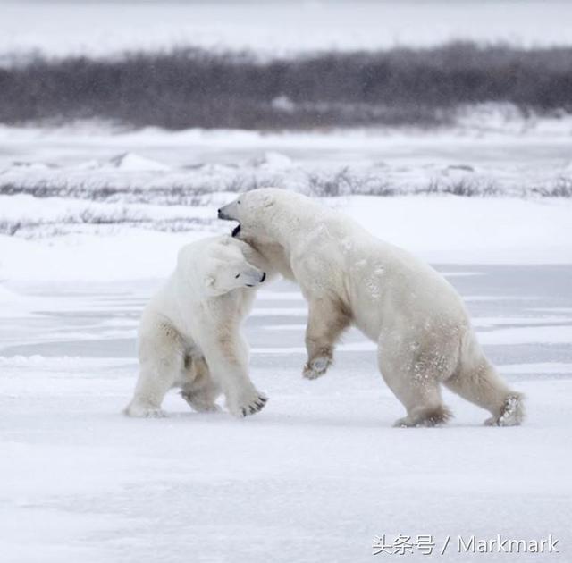 加拿大的小鎮上居然有一家北極熊監獄? - 每日頭條