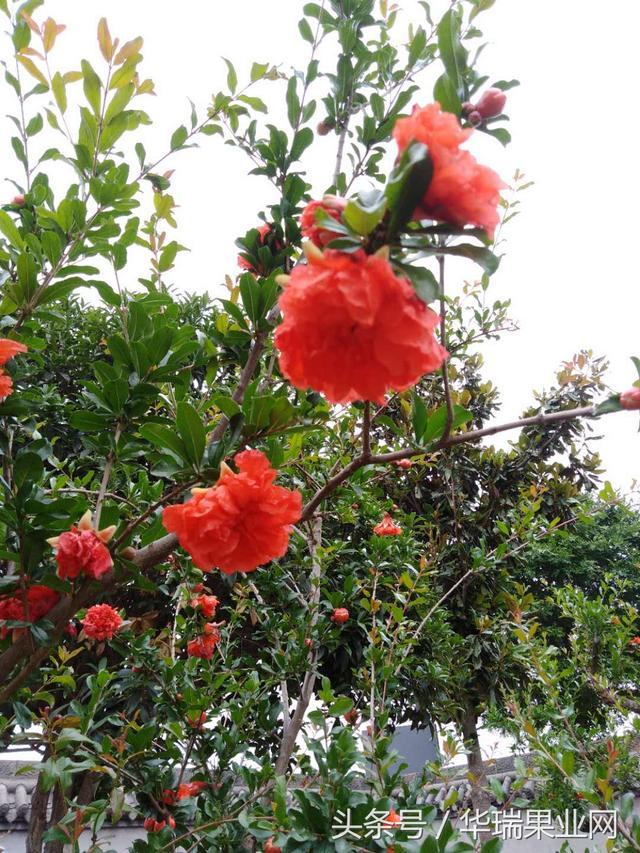 石榴花盆栽不同季節的養護工作 - 每日頭條