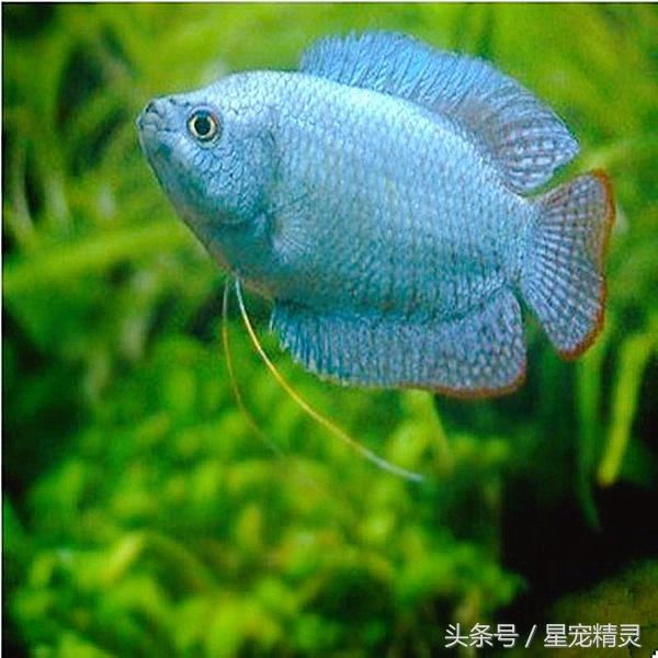 水族箱裡吐泡泡的小型觀賞魚。麗麗魚 - 每日頭條