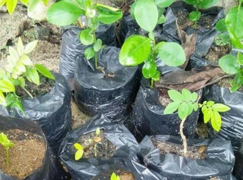 黃花梨樹苗多少錢一棵?如何種植?為什麼如此昂貴? - 每日頭條