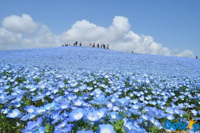 粉蝶花的海洋到底有多藍 - 每日頭條