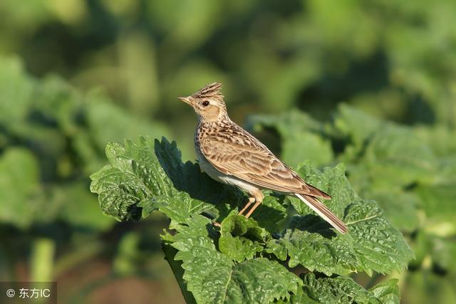 雲雀是什麼鳥 雲雀共有4個物種是一類鳴禽 - 每日頭條