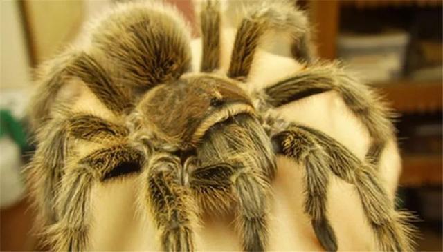 它毛絨絨的,還有很多腿,卻擁有不少粉絲,還被稱為活寶石 - 每日頭條