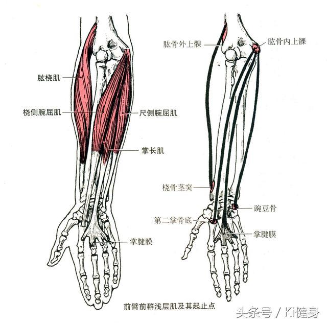 手臂常用肌肉的運動學解剖 - 每日頭條