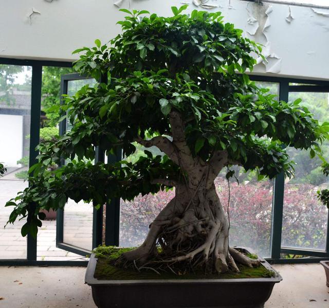 「不死樹」-榕樹盆栽小技巧 - 每日頭條