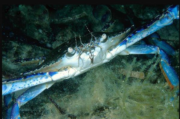 藍藍的。著名的體型大。食用價值高的蟹類——遠海梭子蟹 - 每日頭條