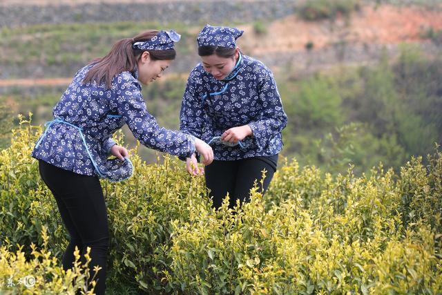 九龍營養課堂:什麼是黃茶?黃茶的生長環境?黃茶可以防癌養生? - 每日頭條