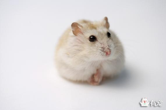 如何判斷倉鼠是否懷孕? - 每日頭條
