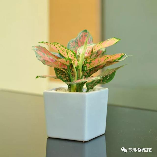 如意-常見辦公室綠化植物 - 每日頭條