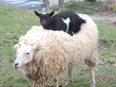 關於羊的9個冷知識 - 每日頭條