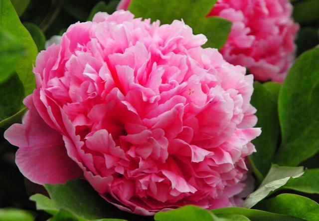 花開時節·你能分清楚芍藥花和牡丹花嗎? - 每日頭條