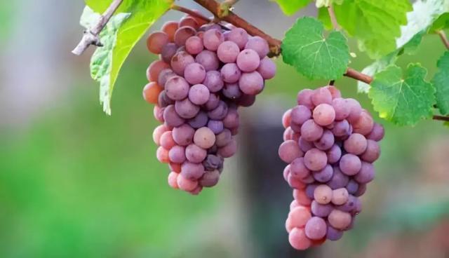 荔枝過季前。趕快來認識一下這個荔枝味的葡萄品種 - 每日頭條