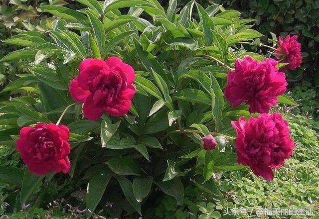 芍藥花的種植方法 如何讓芍藥花開的更加美麗 - 每日頭條
