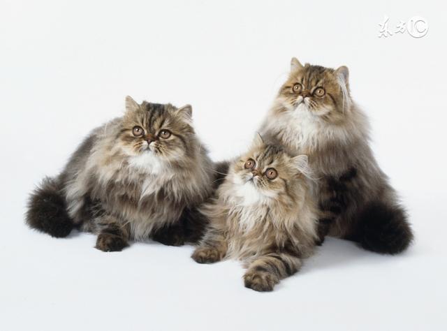 養長毛貓的萌友必須了解。這種腎病最常見於長毛貓! - 每日頭條