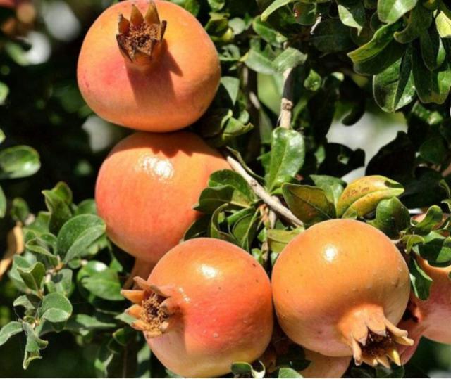 石榴花:榴花似火的石榴樹。這樣栽培花艷果甜 - 每日頭條
