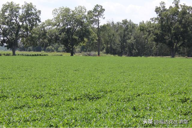 美國7000家花生農民是怎樣生產出327萬噸花生,花生產業狀態何樣 - 每日頭條